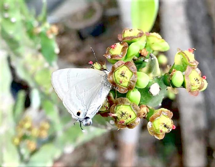 泥黃燕灰蝶