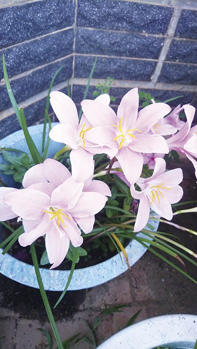 韭蓮開花 耀眼迷人