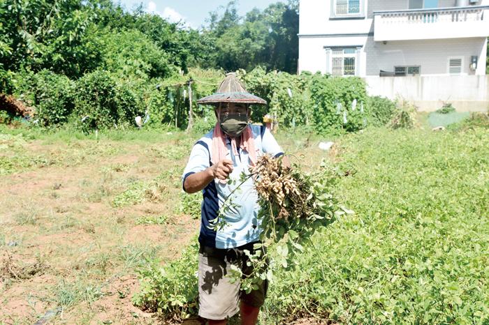 農友許加泉採收田裡成熟的花生,今年春天時種的花生已結實累累。(詹宗翰攝)