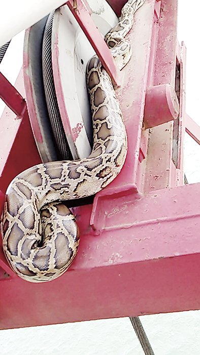 金門大橋工區16日午間發現有緬甸蟒在機具上蜷伏,被工作人員鉤下落海放生。(民眾提供)