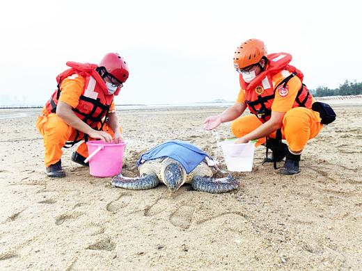 烈嶼中墩有民眾發現疑似迷途擱淺海龜,岸巡人員偕同水試所人員救援。(金門岸巡隊提供)